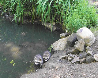Frank Blanco of Boardman found baby raccoons at the Lily Pond in Mill Creek Park.