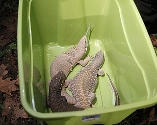 ROBERT K. YOSAY  | THE VINDICATOR.. Iguanas.. ( one of whic was poisonous were also removed )  and over 150 snakes some venomous were discovered at a house -  438 Fifth st in struthers this afternoon.. Mahoning County Dog Warden and Det. Jeff Lewis Stuthers PD.. moved the animals to a car that will be taken to Kentucky ( poisonus ones) and Cleveland ( non Venoumous ) -  The owner was charged with several charges .. - -30-..