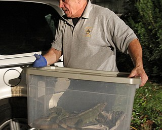 ROBERT K. YOSAY  | THE VINDICATOR...Dave Removes severla Igauans....over 150 snakes some venomous were discovered at a house -  438 Fifth st in struthers this afternoon.. Mahoning County Dog Warden and Det. Jeff Lewis Stuthers PD.. moved the animals to a car that will be taken to Kentucky ( poisonus ones) and Cleveland ( non Venoumous ) -  The owner was charged with several charges .. - -30-..