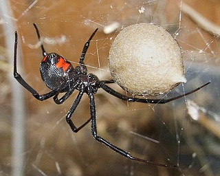 A black widow spider guarding an egg sac, not actual size.