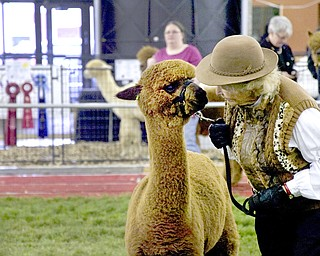 "Kelli Cardinal/The Vindicator .Anne Stachowski, from Stachowski Alpacas in Mantua, Ohio, shows ""Overdrive"" in the Huacayan brown yearling male class Saturday during Alpacafest at Eastwood Expo Center in Niles."