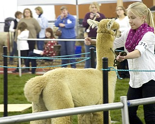 "Kelli Cardinal/The Vindicator .Lily Zacherl, 11, from Butler, Pa., backs up Huacayan alpaca ""Loki"" in the public relations class Saturday during Alpacafest at Eastwood Expo Center in Niles."