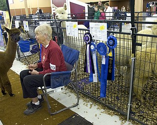 "Kelli Cardinal/The Vindicator .Chris Rudolf, from Fayetteville, Ohio,  waits to show ""Esmeralda"" in the Huacayan brown yearling female class Saturday during Alpacafest at Eastwood Expo Center in Niles."