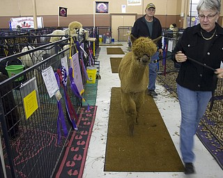 "Kelli Cardinal/The Vindicator .Fay Steving, from Grove City, Pa., walks ""Fiddlers Alpacas Jasper""  before showing in the Huacayan brown yearling male class Saturday during Alpacafest at Eastwood Expo Center in Niles."