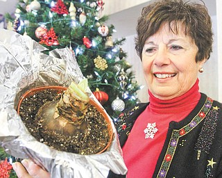 William D. Lewis | The Vindicator:  Bev Muresan, a member of Mignonette Garden Club, plants amaryllis bulbs each year and shares them with residents at area nursing homes.