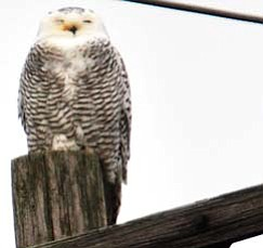This snowy owl perches atop a telephone pole on Mahoning Avenue near Raccoon Road in Austintown. A large migration of the owl species has migrated south from the Arctic this year. Snowy owls also have been spotted at Mosquito Lake in Bazetta. Wildlife leaders urge the public to keep their distance from the owls.