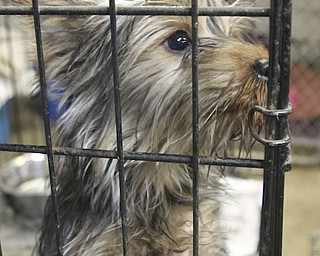 One of the 105 dogs confiscated during the Jan. 17, 2014, raid at Terri Wylie's Smith Township property.