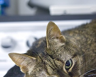 Kelli Cardinal/The Vindicator.Janey, a brown tabby Domestic Short Hair, lays on top of the dryer Monday night at Second Chance Animal Rescue in Austintown.  Janey has been living at the rescue since 2002.