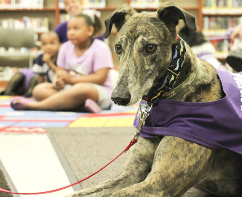 Sparky, a six-year-old Greyhound, was one of the seven dogs from K-9's for Compassion, a Pet Partners affiliate, that greeted guests at the Brownlee Woods branch of the Public Library of Youngstown on Saturday afternoon.   Dustin Livesay  |   The Vindicator 7/19/14  Youngstown.