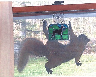 Hanging 20 for Climber, the squirrel, summer fun means window screen surfing. Sent by Doxie Damico of Austintown.