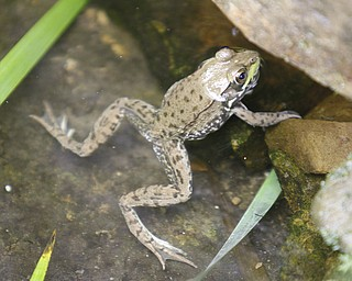 ROBERT K. YOSAY  | THE VINDICATOR.. a Tree frog has taken up residence in one of the many ponds/waterfalls at .Our Lady of the Lakes Parish-- has an oasis for solitude or just reflection or just enjoying the flowers as the Rev. David W. Merweiler is pastor and gardener.....  -30-