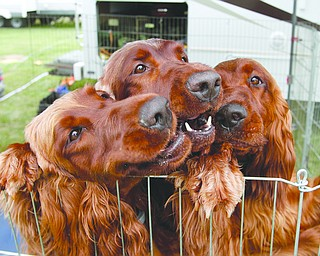 ROBERT K. YOSAY  | THE VINDICATOR..AKC 2017 Steel Valley Cluster: Dog show competition and diving competition...sisters.. three irish setters...    Sedona Paige Annie -  all irish setters   owned by Skip Debbie Lawrence