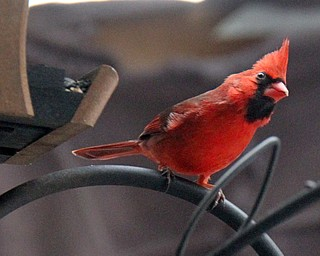 William D Lewis the Vindicator   A cardinal feeds near the Ford Nature Center in Mill Creek Park.