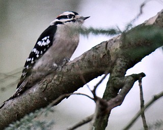 William D Lewis the Vindicator   A downey woodpecker feeds near the Ford Nature Center in Mill Creek Park.