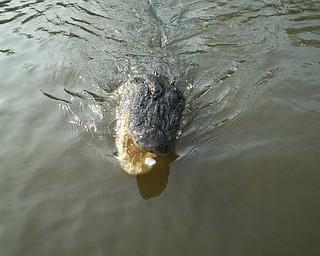 Brutus the alligator