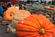 A new world record pumpkin was weighed in October 3, 2009 1,725 pounds in Greenford, Oh. The grower was Christy Harp of Massilon, Oh.