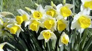 Every Spring since 1932 daffodils have been blooming at the Mill Creek Metro Park Daffodil Meadow in Youngstown, OH