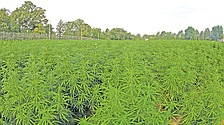 US growing largest crop of pot for research in 5 years
