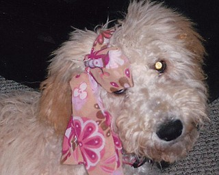 Golden Doodle named Libby Ann belongs to Rae Arcade of Austintown