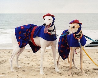 Retired racing greyhounds vey and Angel enjoy the beach in Dewey, Del. They're owned by Darlene Bartholomew of Hermitage. Angel recently passed away at age 13 1/2, but Lovey is still with her at age 14.