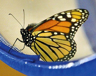This butterfly was on display during a nature program at Ford NAture Center at Mill Creek Park Friday.