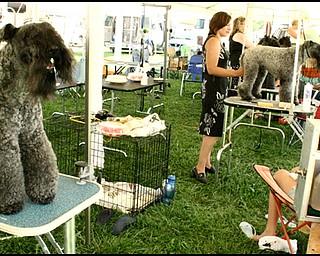 7.31.2008 Showdog Champion Kerrisel's Cudaman getting groomed.