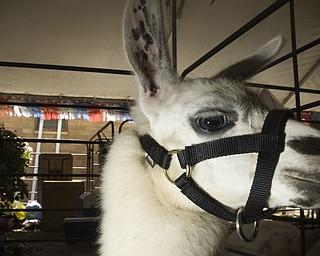 It is rumored that Juno the llama can read human minds. Canfield Fair, Saturday, August 30, 2008. Daniel C. Britt.