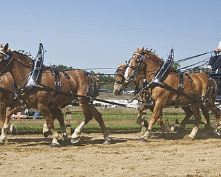 Jerry Ray of Shelby leads a team of draft horses around the ring at the Canfield fair, Saturday, August 30, 2008. Daniel C. Britt.