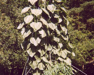 """Don """"Doc"""" Patton of North Jackson has a garden that's taller than it is wide. His 14-foot and 12-foot-high sunflowers dwarf his tomato plants."""