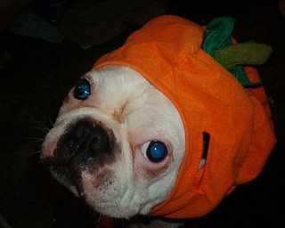 Dee Thomas photographed her 12-year-old Boston Terrier, Emmett, with his pumpkin hat.