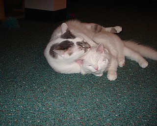 """This is a picture of Bailey and little Becco.  Becco was a stray kitty we found and brought home.  I was worried if my other two cats would accept him.  I didn't have to worry because Bailey became a surrogate daddy to Becco.""   