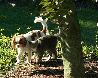 """This is my cat SIMBA and my Cavalier King Charles dog named ABBY. They are sharing a bowl of food together and going for a walk in the yard. But at any time you can see them chasing each other around the house."" Denise Deluca"