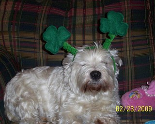 DOG EARS: Joining in on the St. Paddy's Day fun at the LaRosa home in Boardman will be the family dog, Max.