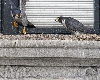 FALCON FLIGHT: This pair of peregrine falcons have set up house on the Mahoning County Courthouse. Their window-ledge nest outside the law library contains three  eggs being incubated by an adult female.