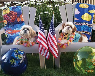 Preston (left), a Lhasa Apso, and Ernie (right), a Shih Tzu, are both adopted rescue dogs. They're enjoying summer in their Saturday suits. They deserve it, say their owners, Tony and Fran Vitullo of McDonald.
