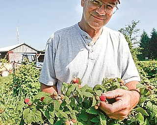 Matt Haus checks a red raspberry plant. The week's warmer weather should bring the crop on at Haus' Orchard in Canfield.