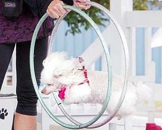 Michelle Harrell  guides one of her poodles through a hoop during a show at the Trumbull County Fair. Harrell travels the country with her poodles doing shows.