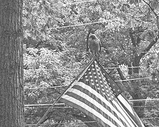 PERFECT PERCH: A hawk chose the Fourth of July to pose as a flagpole finial atop an American flag in the yard of Bill Hughes on Blueberry Hill Drive in Canfield. The bird, which had been fighting with other hawks to dominate the territory, paused to rest just long enough for neighbor John Schuler to capture the rare moment on film.