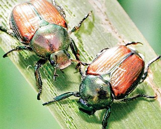 A pair of Japanese Beetles feed on an Iris leaf at the OSU extension garden in Cortland.