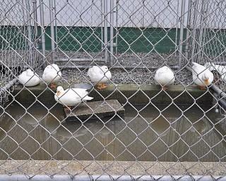 Ducks at the fair