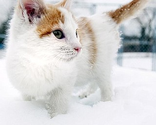 COOL CAT: Buckwheat, a cat up for adoption at Angels for Animals, walks gingerly through the snow.  It's especially important for pets have access to shelter when the weather is cold.