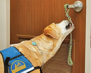 The Vindicator/Lisa-Ann Ishihara---  7 year old Santo of the Canine Companions for Independence, bites onto a rope wrapped around a door handle at Easter Seals to demonstrate one of 70+ commands he can perform in order to assist disabled patients to try to get around in their day-to-day lives.