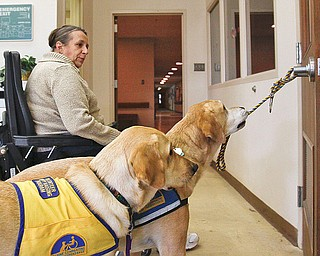 The Vindicator/Lisa-Ann Ishihara---  7 year old Santo of the Canine Companions for Independence, bites onto a rope wrapped around a door handle at Easter Seals to demonstrate one of 70+ commands he can perform in order to assist disabled patients to try to get around in their day-to-day lives. He belongs to Diana Burns, in back, of Coitsville. 11 month old Jaco stands beside him in the yellow vest.