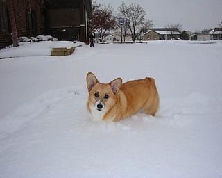 Diane BurdaÕs 5-year-old Pembroke Welsh Corgi, Gunny, enjoys the snow. Diane lives in Boardman.