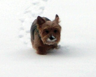 Zoe loves to play in the snow! Owners are Cathi and Walter Charko..