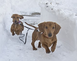 The Vindicator/Lisa-Ann Ishihara--- L-R Miniature Dachshunds, Leica Focus and Canon Matte stick to a paved path of snow so they don't sink while running around in their backyard in Austintown.