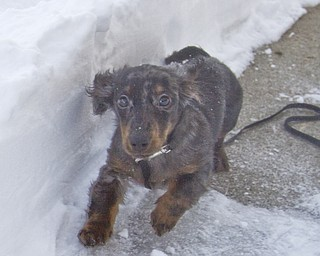 The Vindicator/Lisa-Ann Ishihara--- Miniature Dachshund, Satellite Mixer, sticks to a paved path of snow so he doesn't sink while running around in his backyard in Austintown.