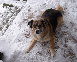 """My silly """"snow dog"""" Woolah. We moved here from Northern California five years ago and the winter of 2005, she experienced her first snow. She LOVES it! Doreen L. Moore Y-town"""