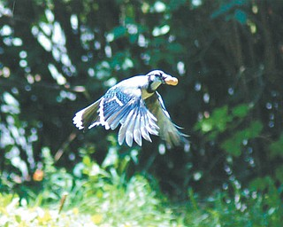 Brenda Kiddon of Poland snapped this Blue Jay after he helped himself to a peanut from their bird feeder.