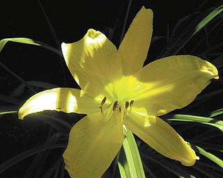 This day lily was taken by Tani Spielberg of Boardman near Lake Michigan shore, Charlevoix, Mich, in August 2008..